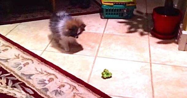 Adorable Puppy Really Hates Broccoli